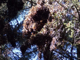 A large clump of Monarchs