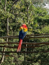 Macaw at Copan Ruinas