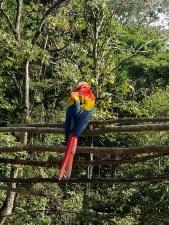 Macaw at Copan Ruinas